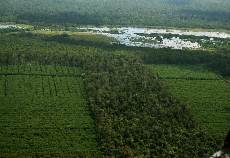 Gambut, hutan gambut dan perkebunan akasia di Pelalawan Riau, Sumatera Foto : Koko Yulianto/WWF-Indonesia